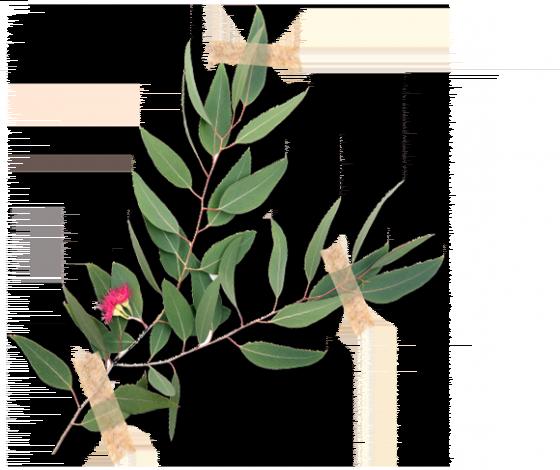 Eukaliptus gałkowy