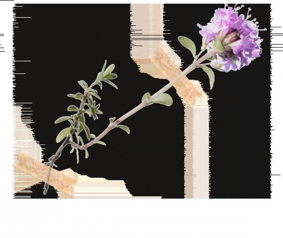 Macierzanka piaskowa