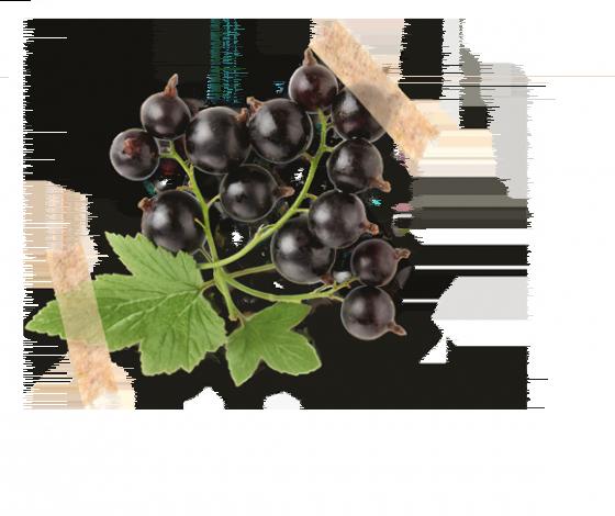 Porzeczka czarna
